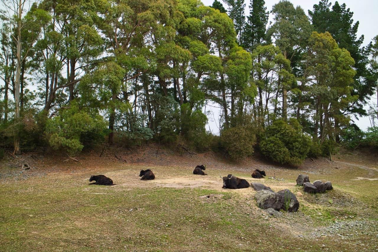 Orana-Wildlife-Park-Christchurch-Bisons