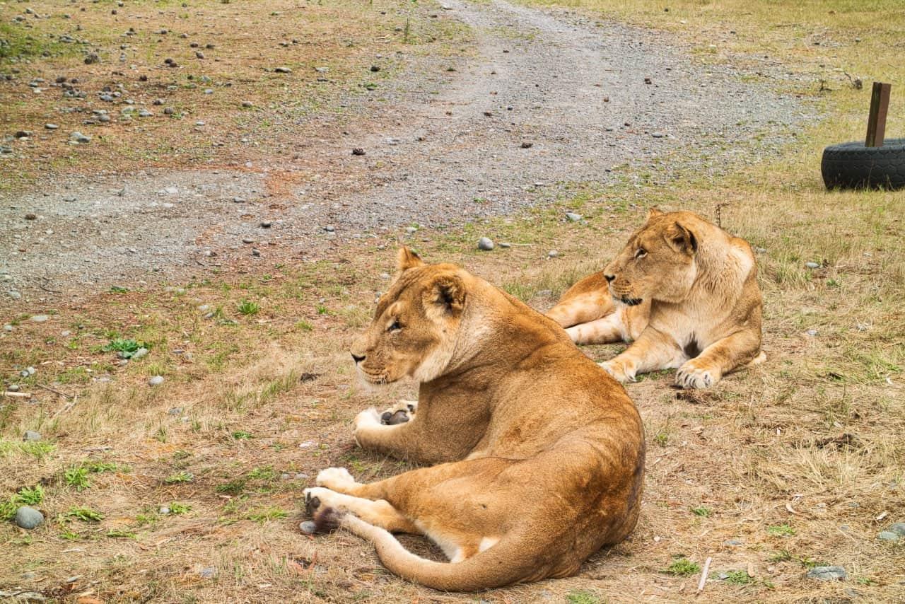 Orana-Wildlife-Park-Christchurch-Lions