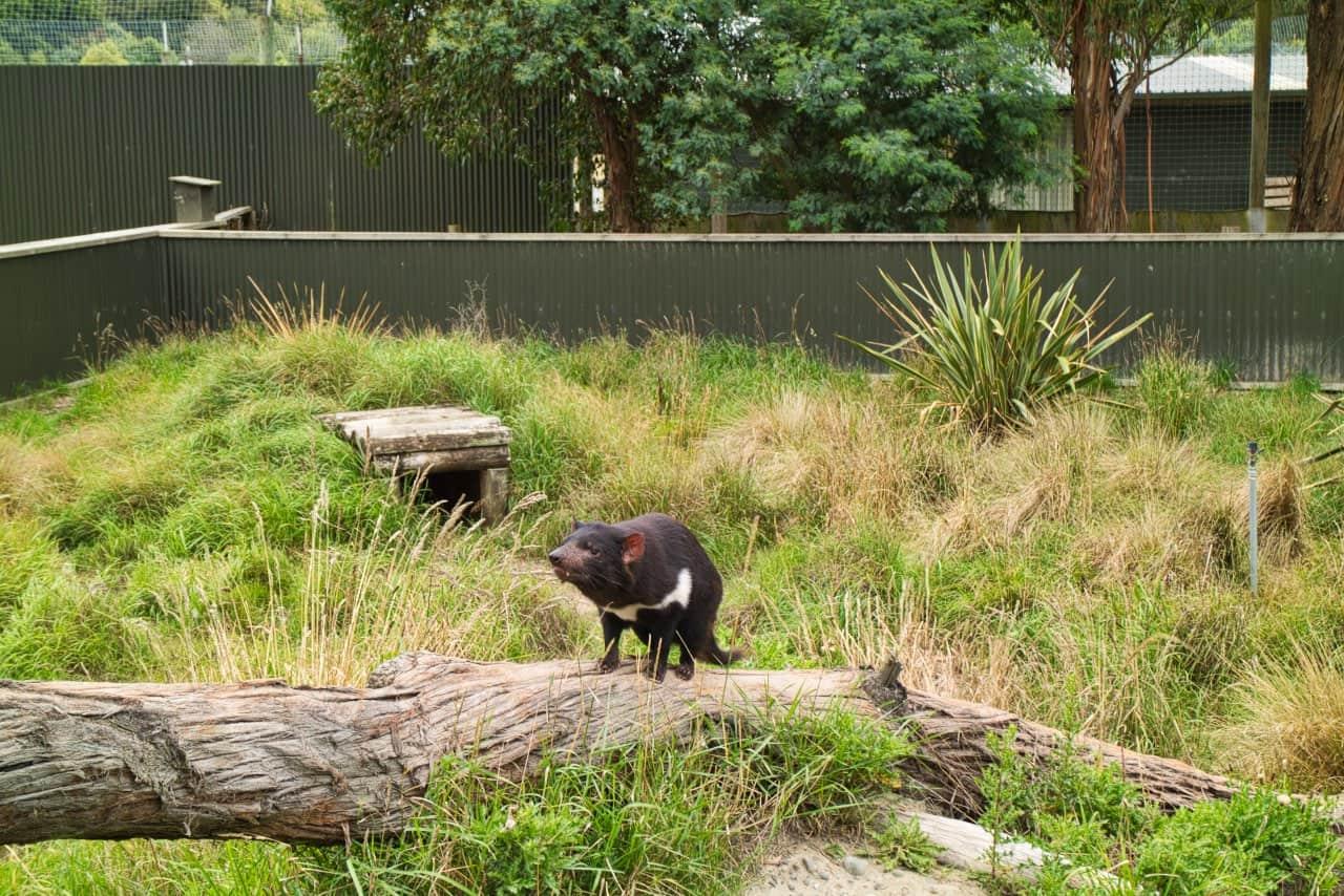 Orana-Wildlife-Park-Christchurch-Tasmanian-Devil-on-Tree