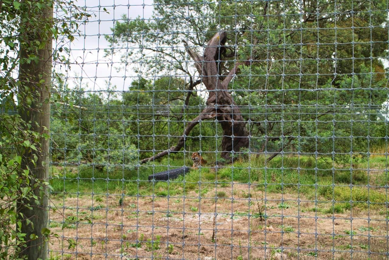 Orana-Wildlife-Park-Christchurch-Tiger