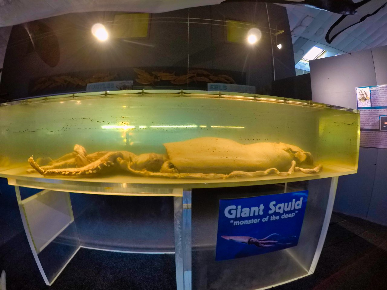 Picton-Aquarium-ew-Zealand-giant-Squid-GoPro-Hero-5