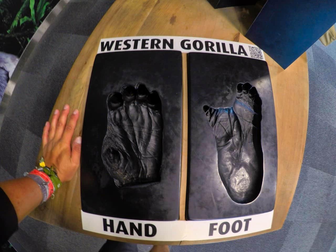 Western-Gorilla-Foot-Hand-Orana-Wildlife-Park-Christchurch