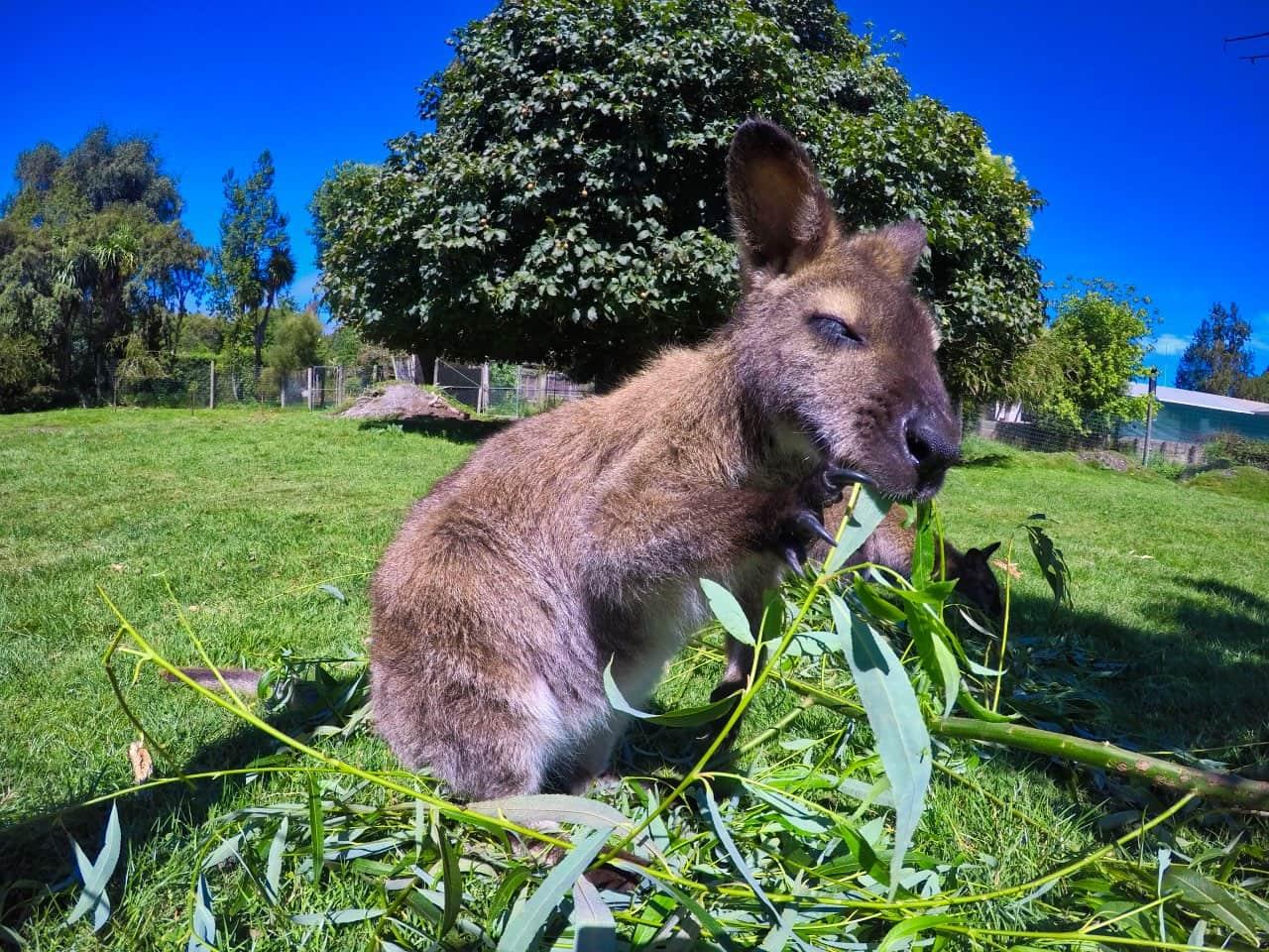 Willowbank-Wildlife-Park-Chistchurch-Wallaby-eating