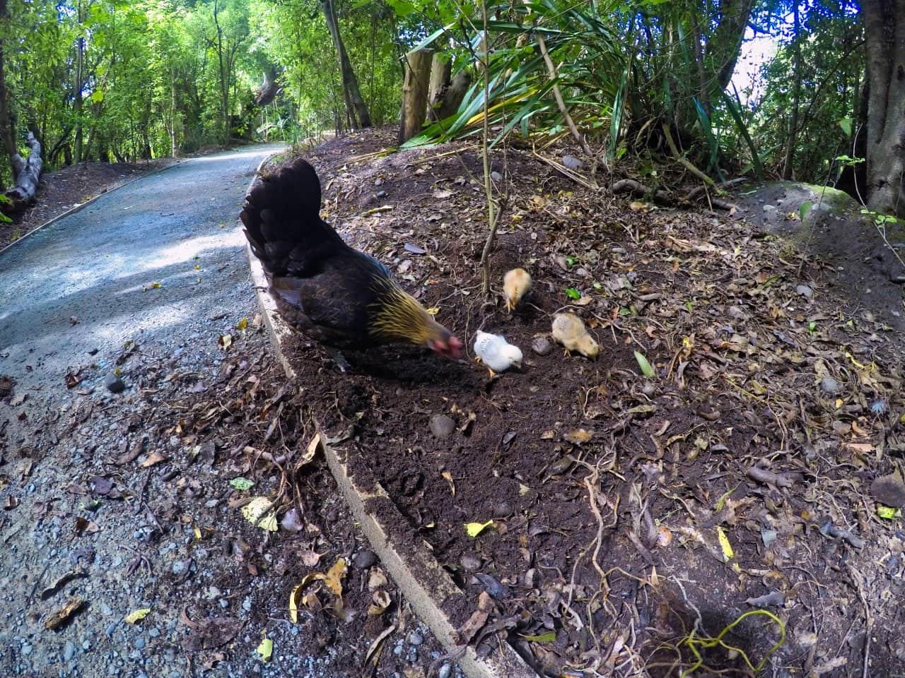 Willowbank-Wildlife-PArk-Chistchurch-chicken-with-kids