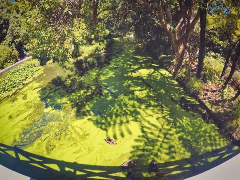 queens garden nelson new zealand ducks in green water