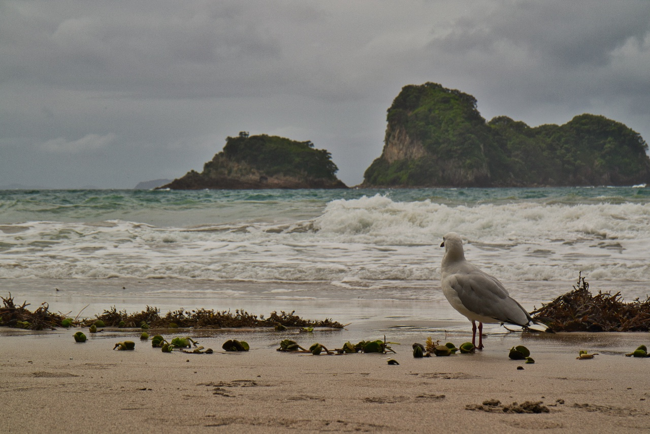 Sea Gull Beach Cathedral Cove New Zealand