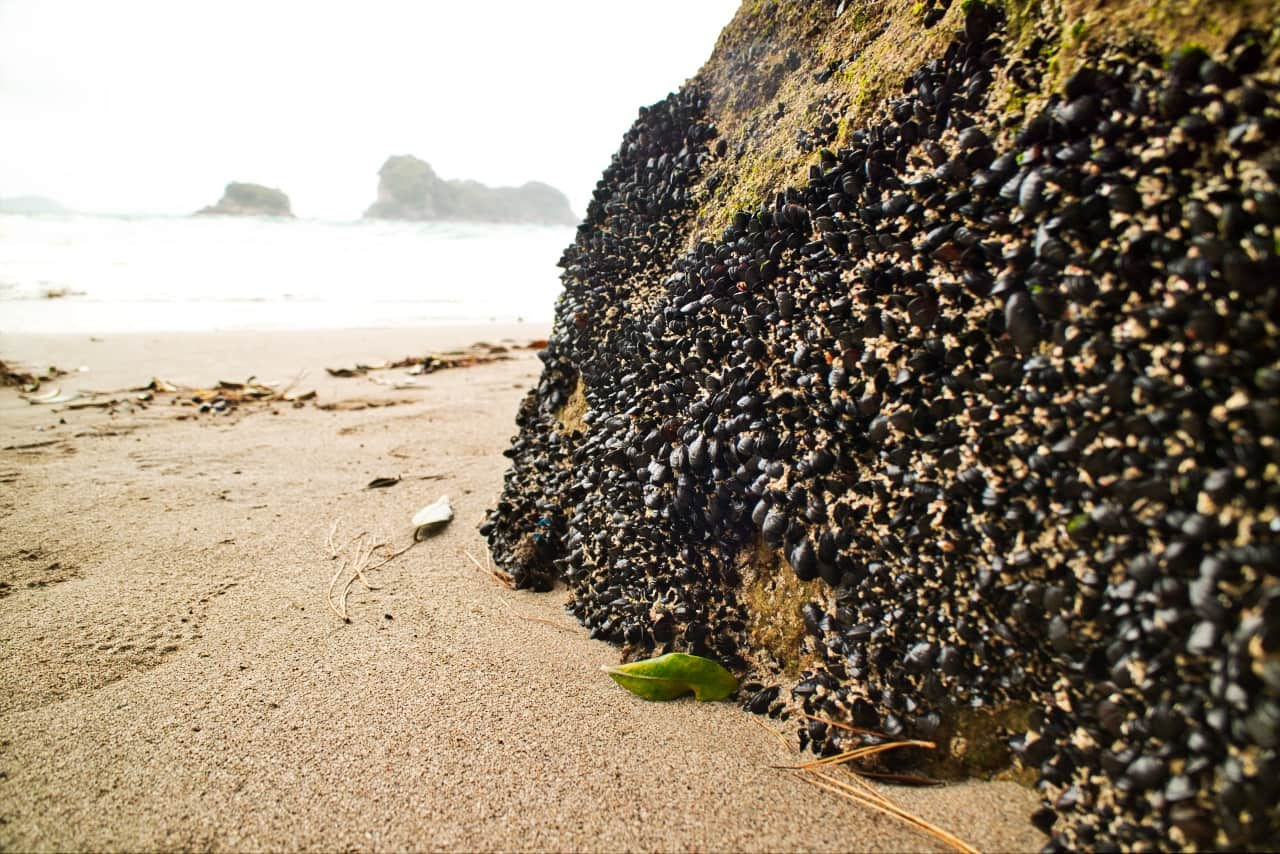 Shells-at-Cathedral-Cove-New-Zealand