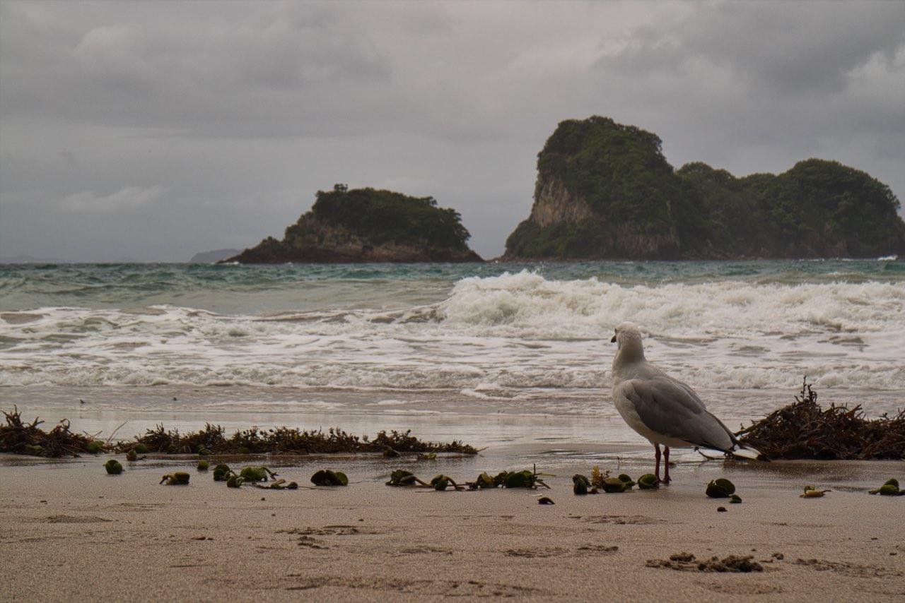 Te-Whanganui-A-Hei-Marine-Reserve-Cathedral-Cove-Seagull