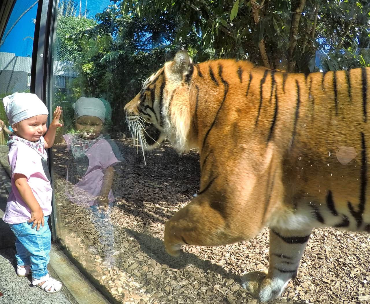 auckland-zoo-tabea-tiger