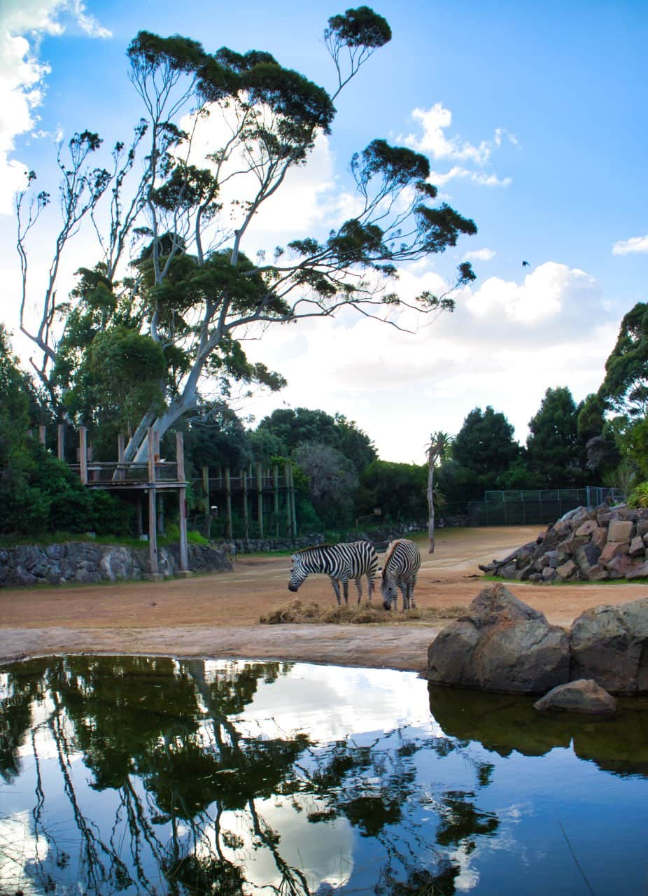 auckland-zoo-zebra-new-zealand