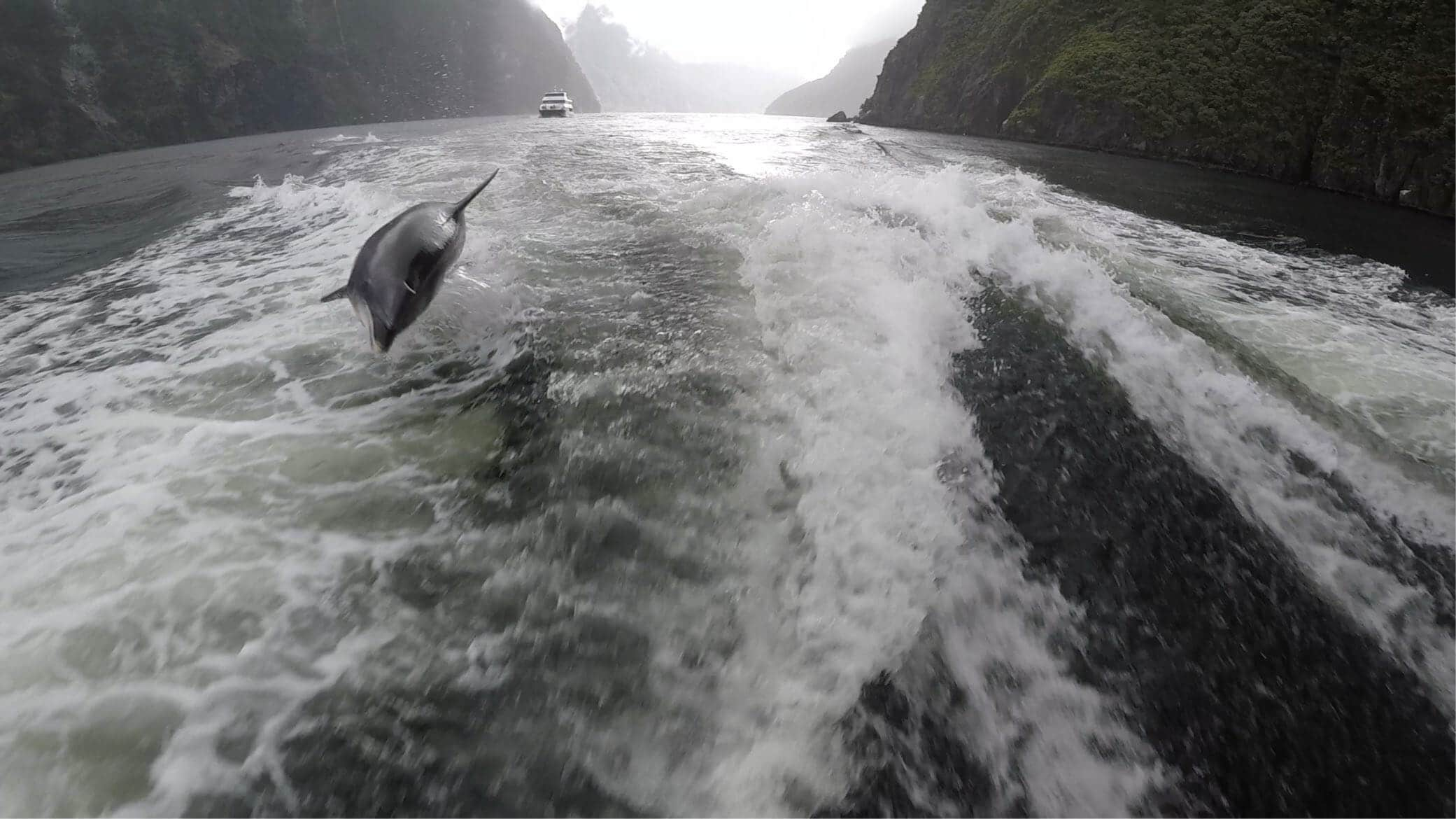 jumping dolphins behind boad milford sounds