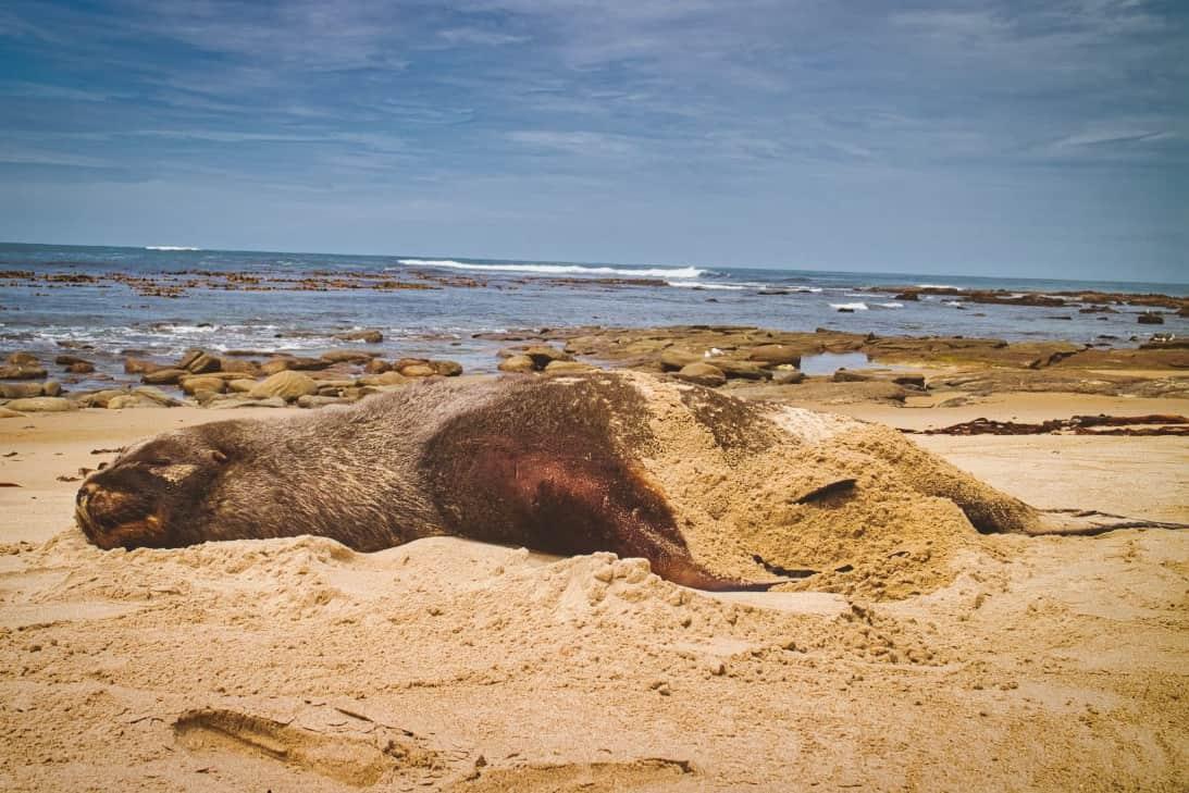 Waipapa-Point-Lighthouse-sea-loin-sleeps-on-beach